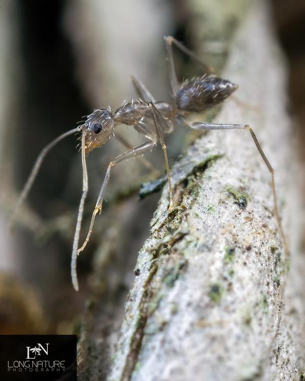 Crazy Ant - Paratrechina longicornis newly hatched.