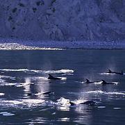 Bottlenose Dolphin (Tursiops truncatus) in the Sea of Cortez near Baja,  Mexico. .Bottlenose Dolphin (Tursiops truncatus) in the Sea of Cortez near Baja, Mexico.