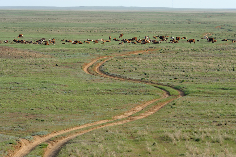 Landscape, Rostovsky Nature Reserve, Rostov Region, Russia.Cattle (Bos primigenius)