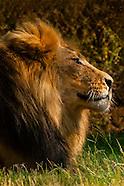 South Africa-Johannesburg-Lion Park