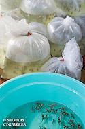 Pterapogon kauderni  emballés pour l'exportation vers les aquariums du monde entier<br /> <br /> Poisson cardinal des iles Banggais, Pterapogon kauderni. Endémique des Îles Banggais, ce poisson possède une aire de répartition très limitée pour un poisson marin. Depuis quelques années, il subit une forte pression de la pêche pour le commerce de l'aquariophilie (plusieurs milliers de poissons sont capturés chaque mois) ce qui a conduit cette espèce en 2007 a être classée dans la catégorie Endangered sur la liste rouge de l'UICN. village de Bonebaru sur l'ile Banggai dans les Sulawesis en Indonésie - Mission Banggai Cardinal Fish, Mai 2008, Act for Nature - Musee oceanographique de Monaco