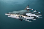 Shark by species