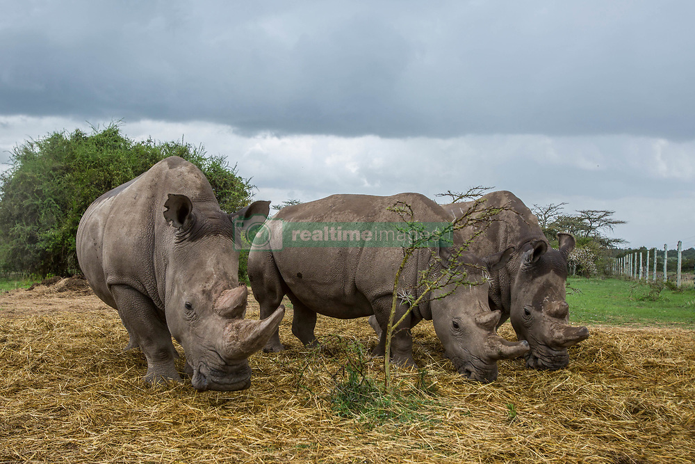 March 20, 2018 - Nanyuki, Kenya - Two white northern and one white southern female rhinos are grazing. To spot the difference between the species check their ears...With the death of Sudan, there are only two remaining northern white rhino alive. Called Najin and Fatu, they spend their lives living in protected area of Ol Pejeta Conservancy, where the 'Caretakers' sort of armed nature rangers are protecting them. (Credit Image: © Jan Husar/SOPA Images via ZUMA Wire)