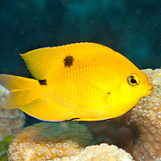 Threespot Damselfish, juvenile, inhabit reef tops in areas with algae in Tropical West Atlantic; picture taken Little Cayman.