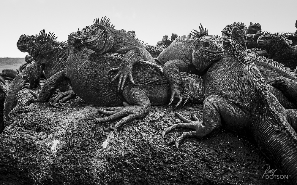June 2014 - Iguanas in Galapagos, Ecudor