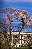 The White House framed by cherry blossoms, (The South Lawn), Washington D.C., U.S.A.
