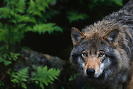 European wolf (Canis lupus), Boras zoo, Captive, Sweden.