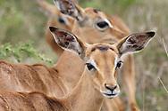 HLUHLUWE-UMFOLOZI PARK - 6 January 2006 - An alert impala ewe in the Hluhluwe-Umfolozi Park in northern KwaZulu-Natal.Picture: Giordano Stolley