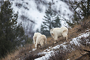 Mountain goats during winter in Wyoming