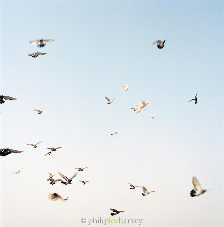 Pigeons in flight, Lucknow, Uttar Pradesh, India