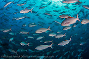 Creolefish, Paranthias colonus, are one of the most common fish in the Galapagos Islands, Ecuador.