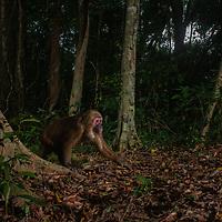 Wild Stump-tailed macaque, Macaca arctoides, Kaeng Krachan National Park, Thailand, macaque, crop,