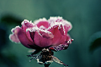 A rose covered with a rare winter frost on the isle of wight