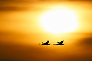 A pair of trumpeter swans (Cygnus buccinator) are rendered in silhouette as they fly in the bright golden sky against the sun in the Skagit Valley of Washington state. Most of the swans breed in the northern reaches of Canada and Alaska, and a large population winters in northern Washington state. Trumpeter Swans average more than 5 feet (152 cm) in length and can weigh up to 30 pounds (13 kg), making them the longest and heaviest living bird native to North America.