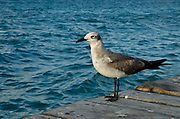 Laughing Gull (Larus atricilla)<br /> Isla Mujeres<br /> MEXICO<br /> RANGE: North and South America