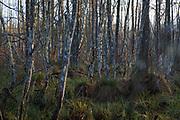 Old and abandoned beaver pond with all kinds of dead and few still growing birch trees (Betula sp.) and willows (Salix sp.), Kemeri National Park (Ķemeru Nacionālais parks), Latvia Ⓒ Davis Ulands | davisulands.com