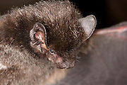 Portrait of a silver-haired bat (Lasionycteris noctivagans) in the Rogue River National Forest, Oregon.