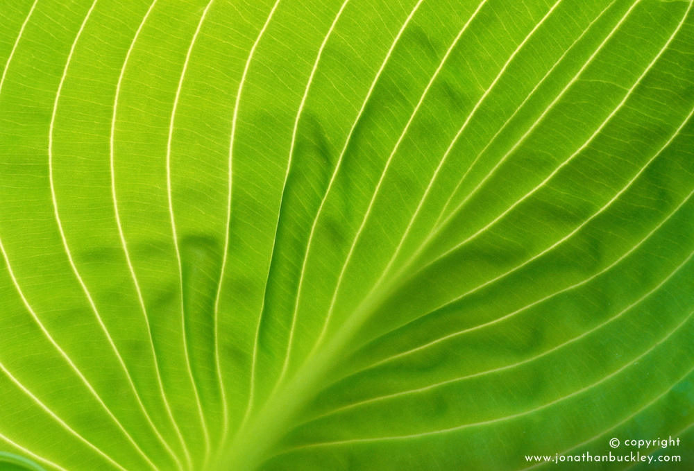 The backlit leaf of Hosta sieboldiana var. elegans with it's spring colouring ( later it turns blue )<br /> Plantain lily