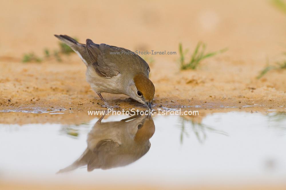 Eurasian Blackcap (Sylvia atricapilla) female near a water puddle, negev desert, israel