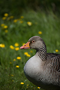 Greylag Goose (Anser anser) at the North Slob, Wexford, Ireland.