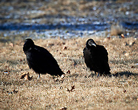 Black Vultures. Image taken with a Nikon D5 camera and 600 mm f/4 VR lens (ISO 180, 600 mm, f/5.6, 1/640 sec).