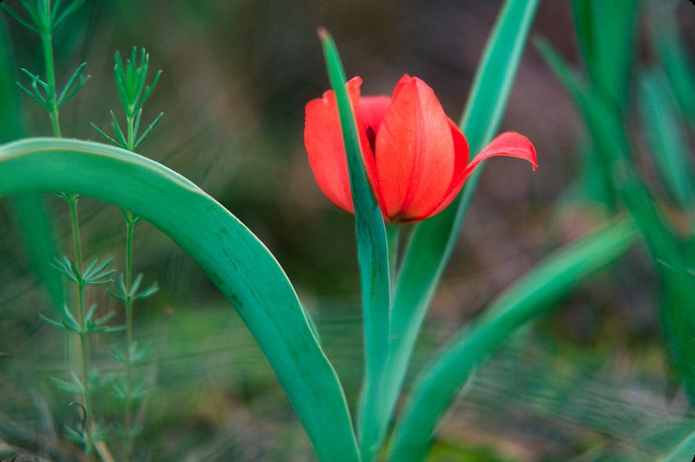 Wild tulip, Vashlovani National Park, The Country of Georgia