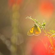 Colias croceus, clouded yellow, is a small butterfly of the family Pieridae, Photographed at the Ein Afek nature reserve, Israel