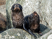 New Zealand fur seal pups (Arctocephalus forsteri) thrive in the colony at Long Reef Point on the Tasman Sea near Martins Bay Hut, on the Hollyford Track, in Fiordland National Park, Southland region, South Island of New Zealand. After the arrival of Europeans in New Zealand, hunting reduced the seal population near to extinction. This mammal is known as kekeno in Maori language. Some call it Australasian fur seal, South Australian fur seal, Antipodean fur seal, or long-nosed fur seal. In 1990, UNESCO honored Te Wahipounamu - South West New Zealand as a World Heritage Area.