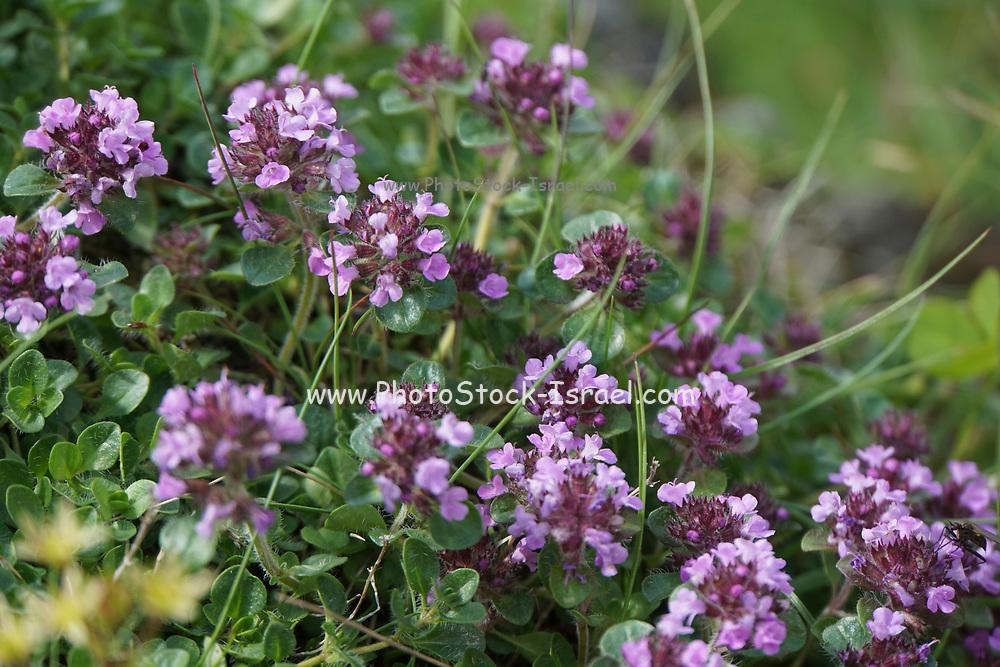 purple flowers flowering in Romania