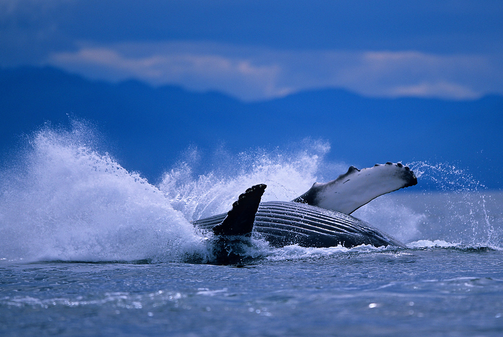USA, Alaska, Tongass National Forest, Humpback Whale (Megaptera novaengliae) breaches in Frederick Sound on summer day