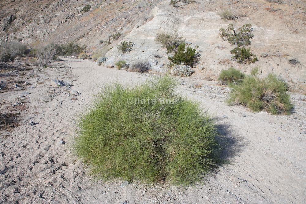 desert bush growing at the feet of the San Jacinto mountain range near Palm Springs California USA
