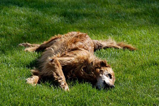 Bridger, a Golden Retriever Dog rolling on grass. Montana.