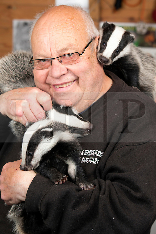 """© Licensed to London News Pictures. 24/4/2014. Nuneaton, Warwickshire, UK. Pictured, Badger cubs Scampy, Fidget and Dopey were found by a rambler when just four weeks old, they were hiding in a hedgerow, suffering from hypothermia and lack of food, their parents both nearby, shot dead. Taken to Warwickshire Wildlife Sanctuary in Nuneaton, they were brought back to life with love and care by Geoff Grewcock who runs the Sanctuary along with 25 volunteers. The baby cub badgers now 12 weeks old, have doubled in size, Geoff smiles, """"for some reason they have also taken a liking to my custard cream biscuits, they seem to love them and are currently getting through a packet a week""""  Now checked by a local vet, inoculated and tagged, Geoff has found a home for them at  Secret World in Somerset, where they will join other badgers in purpose built sets and hopefully lead a full life. Picture shows Geoff Grewcock and the badgers. Geoff can be contacted on 02476 345243. Photo credit : Dave Warren/LNP"""