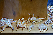 A display of elaborate exoskeleton sea shells and seashells