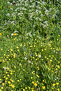 Forget Me Nots - Myosotis - Cow Parsley - Anthriscus sylvestris, Buttercups - Ranunculus  - wildflowers blooming and dandelion seed heads in Springtime, UK