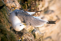 A Kittiwake at the RSPB nature reserve at Bempton Cliffs in Yorkshire, as over 250,000 seabirds flock to the chalk cliffs to find a mate and raise their young.