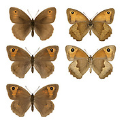 Meadow Brown - Maniola jurtina - male (top row) - female (middle & bottom rows). Wingspan 50mm. Britain's most familiar and widespread grassland butterfly. Adult has brown upperwings; male has a small orange patch on the forewing containing eyespot; orange patch is larger in female. Underside of hindwing is brown with a grey-brown band; forewing is orange and buff with an eyespot. Flies June-Aug. Larva feeds on grasses and is nocturnal. Generally common throughout the region but least so in northern Scotland and Ireland. Favours a wide range of grassland habitats.