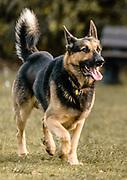 Jackson the large German Shepherd enjoying himslelf in the park