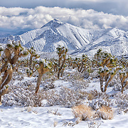 With the Sheep Range far in the distance, sunlight on fresh snow highlights this Joshua tree forest in the Spring Mountain Range.