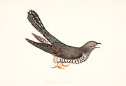 Common cuckoo (Cuculus canorus), artwork. Common cuckoos are brood parasites. That is, they lay their eggs in the nest of other birds, leaving the costly rearing of their young to the owner of the nest. 18th century watercolor painting by Elizabeth Gwillim. Lady Elizabeth Symonds Gwillim (21 April 1763 – 21 December 1807) was an artist married to Sir Henry Gwillim, Puisne Judge at the Madras high court until 1808. Lady Gwillim painted a series of about 200 watercolours of Indian birds. Produced about 20 years before John James Audubon, her work has been acclaimed for its accuracy and natural postures as they were drawn from observations of the birds in life. She also painted fishes and flowers. McGill University Library and Archives