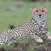 Cheetah (Acinonyx jubatus) in the Masai Mara National Reserve. Kenya, Africa