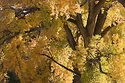 Close-up of yellow leaves and brown bark, cottonwood, New Mexico<br />