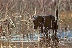 Black Lab In Marsh
