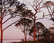 Slash Pines, Pinus elliottii, with St. George Sound beyond, St. George Island, St. George Island State Park, Florida.