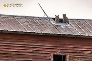 Breeding pair of great horned owls atop old wooden granary in Collins, Montana, USA