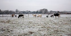 © Licensed to London News Pictures. 13/12/2012. Goring, UK. Cows and calves, a few days old, cluster in a frosty field in Goring Heath. Photo credit : Rebecca Mckevitt/LNP