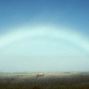Elk, (Cervus elaphus) Bull in meadow. Fog creates colorless rainbow. Rockies. Fall rut.