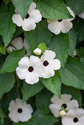 Thunbergia alata 'SunEyes White Improved'