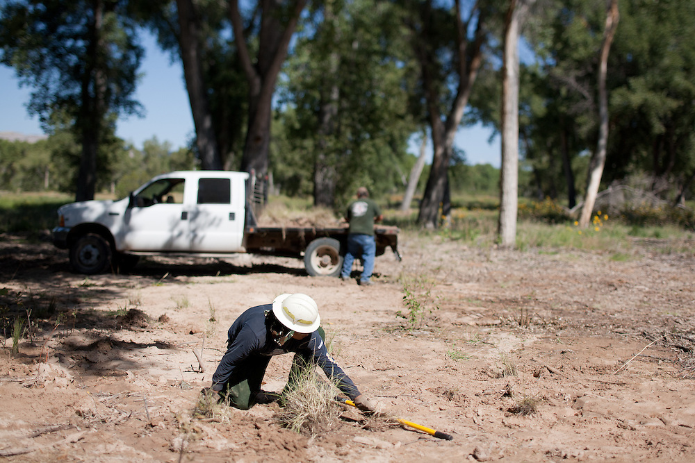 New plants are added in the Rio Grande Bosque just south of Española in Rio Arriba County. Santa Clara Pueblo has received $6,513,000 in stimulus funds to promote healthy forests and reduce hazardous fuels.