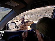 Grover Ratliff photographing a bighorn ram in Jackson Hole Wyoming